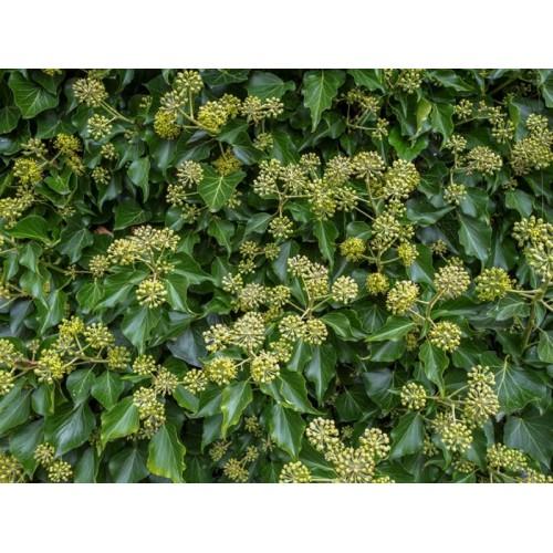 Hedera helix ' Arborescens ' ...