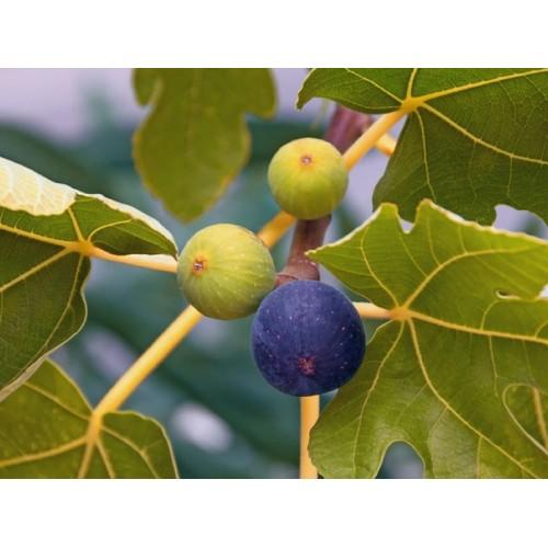 Ficus carica (İncir)