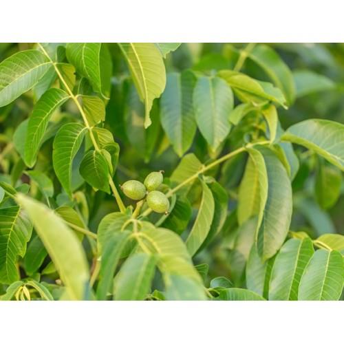 Juglans regia (Ceviz Ağacı)