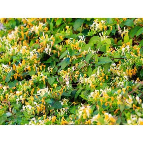 Lonicera caprifolium (Hanımeli)