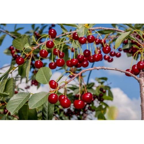 Prunus cerasus (Vişne)